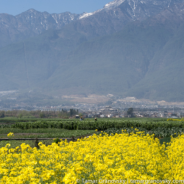 Fields of Rapeseed (with old town Dali in the background)