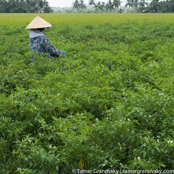 Mekong Delta (picking hot peppers)