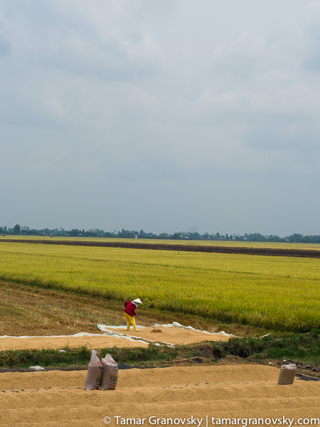 Mekong Delta (drying rice along the rice paddies_