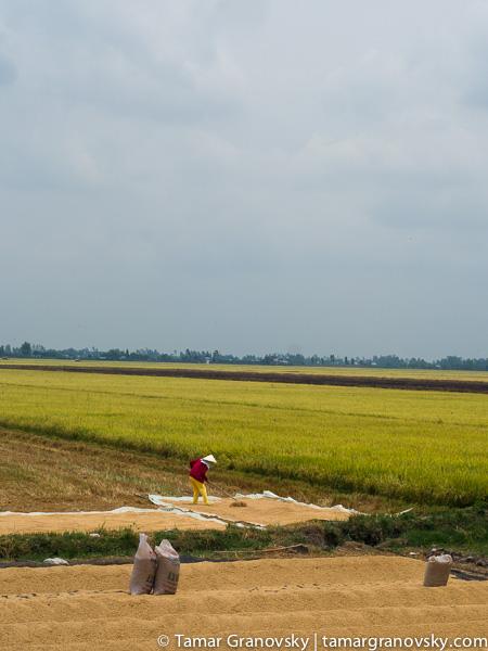 Mekong Delta (drying rice along the rice paddies_