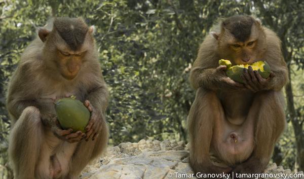 Kampong Cham, Phnom Pros (Monkey See, Monkey Do)