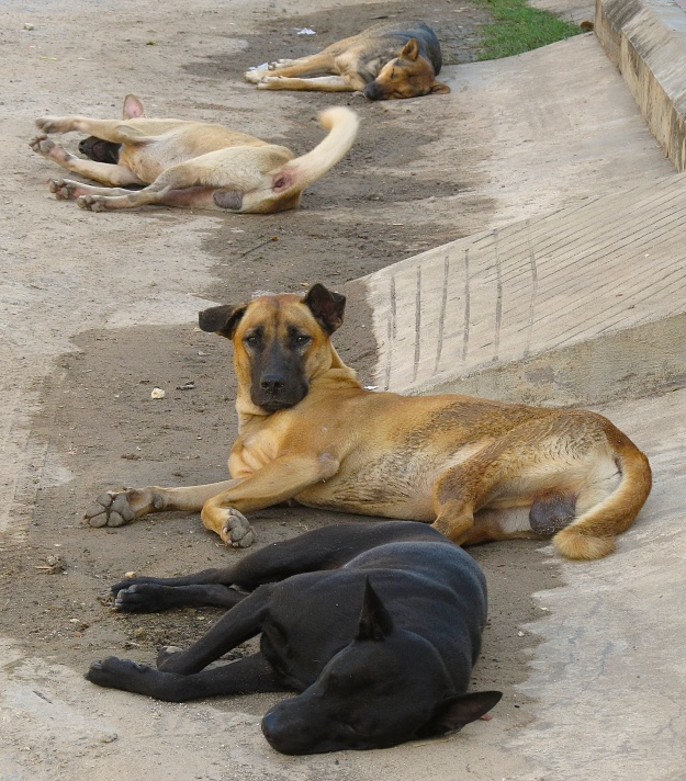 Kampot Dogs at Rest: A Rare Site (Photograph courtesy of Stefan Baldesberger)